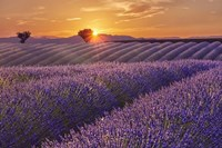 Lavender Field at Sunset Fine-Art Print