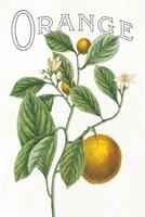 Classic Citrus VI v2 Fine-Art Print