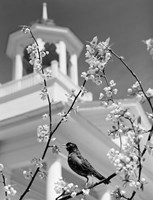 1950s Robin Perched On Blossoming Fine-Art Print