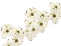 Dogwood Beauty Fine-Art Print