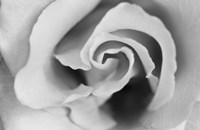 Gentle Rose Fine-Art Print