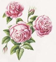 3 Roses Fine-Art Print