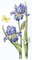 May Iris Fine-Art Print