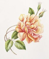 Peach Rose 11 Fine-Art Print