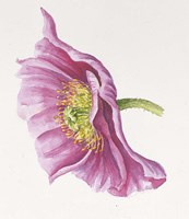 Purple Poppy Fine-Art Print