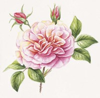 Single Rose 2 Fine-Art Print
