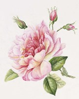 Single Rose 3 Fine-Art Print