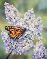 Butterfly with Hydrangea Fine-Art Print
