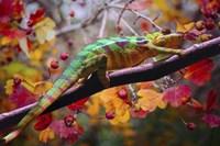 Chameleons Fine-Art Print
