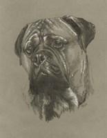 Bull Mastiff Fine-Art Print