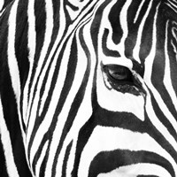 Zebra Up Close Fine-Art Print