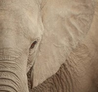 Elephant Up Close Fine-Art Print