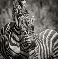Zebra Pair Fine-Art Print