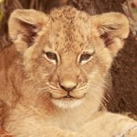 Lion Cub Fine-Art Print