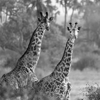 A Pair of Giraffes Fine-Art Print