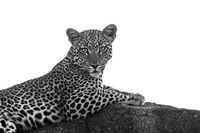 Leopard in Black and White Fine-Art Print