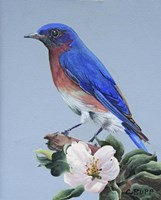 Eastern Bluebird Fine-Art Print