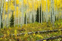 Forest, Maroon Bells, Aspen, Colorado Fine-Art Print