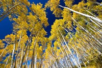 Aspen Tree Tops in Maroon Bells, Aspen, Colorado Fine-Art Print