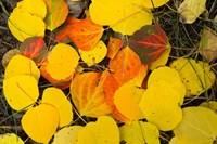 Close-Up of Fallen Leaves, Maroon Creek Valley, Aspen, Colorado Fine-Art Print