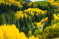 Elevated View of Aspen trees, Maroon Creek Valley, Aspen, Colorado Fine-Art Print