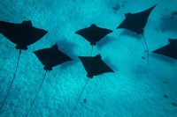 Eagle Rays Swimming in the Pacific Ocean, Tahiti, French Polynesia Fine-Art Print
