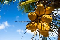 Coconuts Hanging on a Tree, Bora Bora, French Polynesia Fine-Art Print
