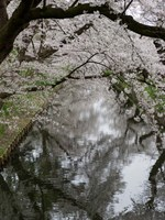 Cherry Trees Reflected in Moat of Hirosaki Park, Japan Fine-Art Print