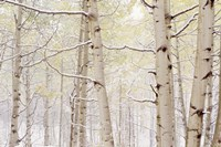 Autumn Aspens With Snow, Colorado Fine-Art Print