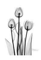 Tulips Black & White Fine-Art Print