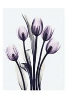 Essentially Tulips Fine-Art Print