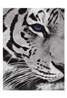 Tiger Purple Eye Fine-Art Print