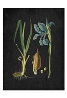 Blue Iris 1 Fine-Art Print