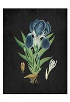 Blue Iris 3 Fine-Art Print