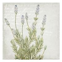 Lavender 1 Fine-Art Print