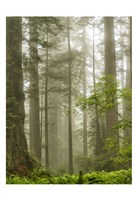North Coast Redwoods Fine-Art Print