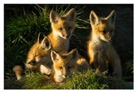 Red Fox Kits Fine-Art Print