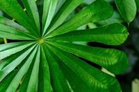 Marantaceae Forest Vegetation Odzala-Kokoua National Park Congo Fine-Art Print