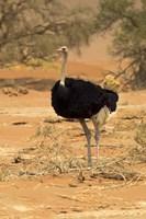 Sossusvlei Male Ostrich, Namib-Naukluft National Park,  Namibia Fine-Art Print