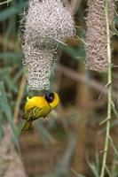 Male Masked Weaver Building a Nest, Namibia Fine-Art Print