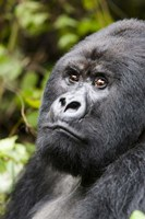 Silverback Mountain Gorilla, Volcanoes National Park, Rwanda Fine-Art Print