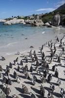 South Africa, Cape Town, Simon's Town, Boulders Beach African Penguin Colony Fine-Art Print