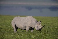 Black Rhinoceros at Ngorongoro Crater, Tanzania Fine-Art Print