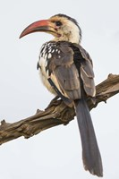 Red-Billed Hornbill, Serengeti National Park, Tanzania Fine-Art Print