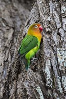 Fischer's Lovebird in Serengeti National Park, Tanzania Fine-Art Print