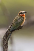 White-Fronted Bee-Eater, Serengeti National Park, Tanzania Fine-Art Print
