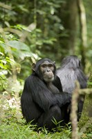 Uganda, Kibale National Park, Young Male Chimpanzee Fine-Art Print