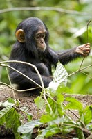 Uganda, Kibale National Park, Infant Chimpanzee Fine-Art Print