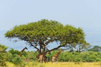 Giraffes Under an Acacia Tree on the Savanna, Uganda Fine-Art Print