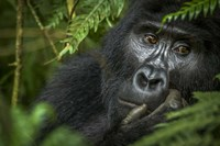 Mountain Gorilla, Bwindi Impenetrable Forest, Uganda Fine-Art Print